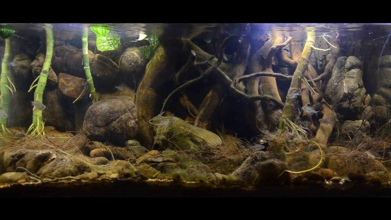 Биотоп Бриллиантовой тетры Biotope of Moenkhausia pittieri