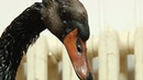Спасение лебедя искупавшегося в нефти Save of swan who swims in oil