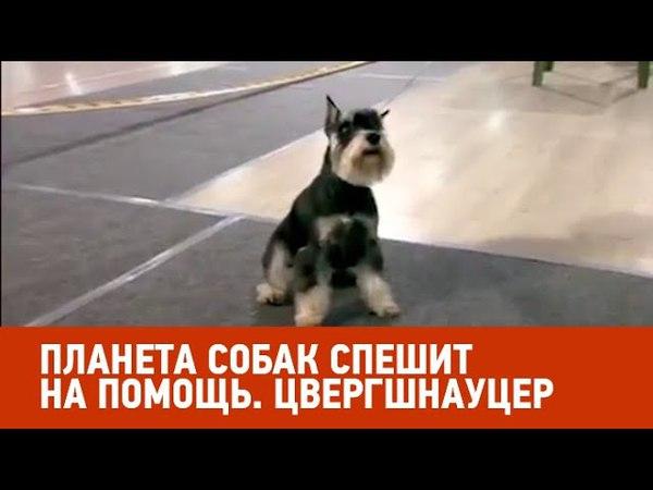 Цвергшнауцер. Планета собак спешит на помощь 🌏 Моя Планета