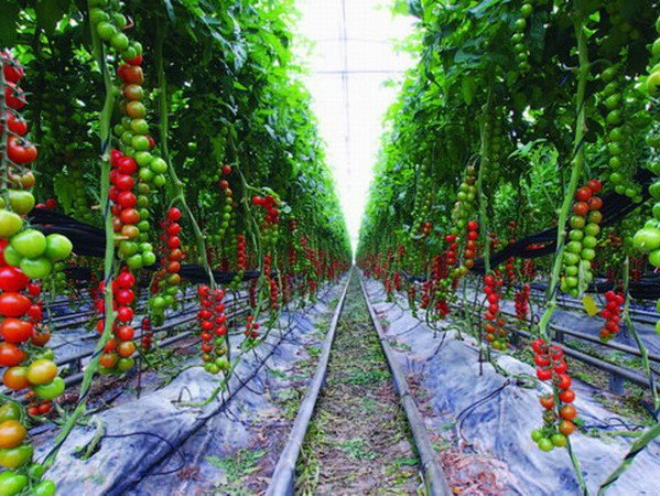 Зимнее выращивание томатов 76