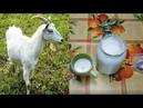 Делаем супер закваску и кефир 🥛 из любого 🐐 молока за 24 часа! Goat yogurt