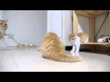 [Котенок]В кот смотрит в трех братьях Манчкин [кошка]