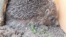 К нам поселился ежикWe have settled the hedgehog