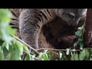 Медвежий кускус / Sulawesi bear cuscus born in captivity for first time