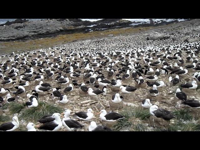 Black-browed Albatross Чернобровый альбатрос Diomedea melanophris