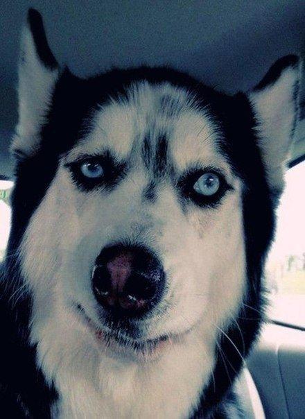 И все таки хаски - самые эмоциональные собаки