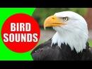 Raptor Bird of Prey Bird sounds for kids PART 2 Children Learn Birds of Prey Raptors