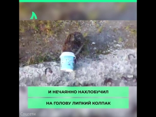 Ёжик в капкане Макфлурри   АКУЛА
