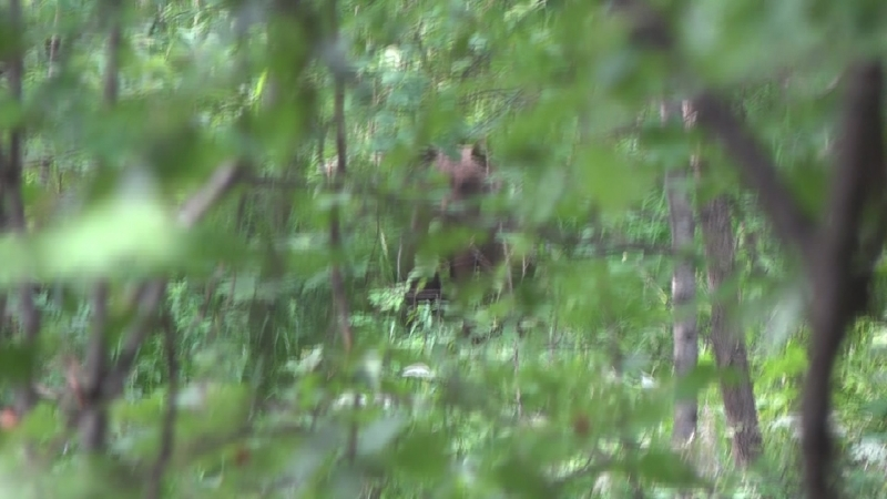 медведь, кордон Лалетино