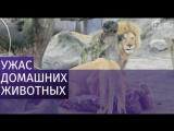 Датские зоопарки попросили приносить домашних питомцев на корм львам