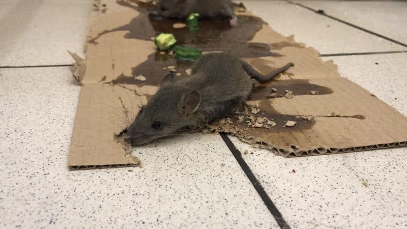 Мыши и клей | Санобработка от грызунов