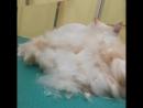 груминг белый кот