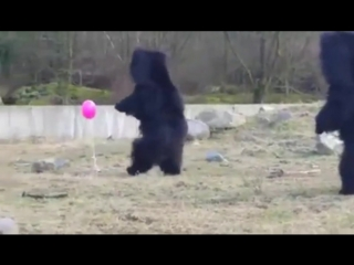 Bears playing with a balloon