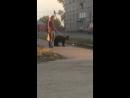 В Тогуре выгуливают медвежонка