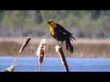 Calls of the Yellow-headed Blackbird