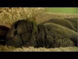 Британский кот ТОМАС в домике для кошек