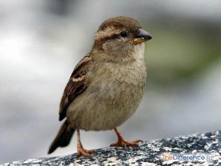 Разница между воробьем и синицей Во все времена люди мечтают летать как птицы, заслушиваются их трелями и благодарят за помощь в борьбе с назойливыми насекомыми. В некоторых случаях мы ими