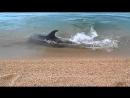 Дельфин охотится на берегу Керчи. Такую красоту редко увидишь!
