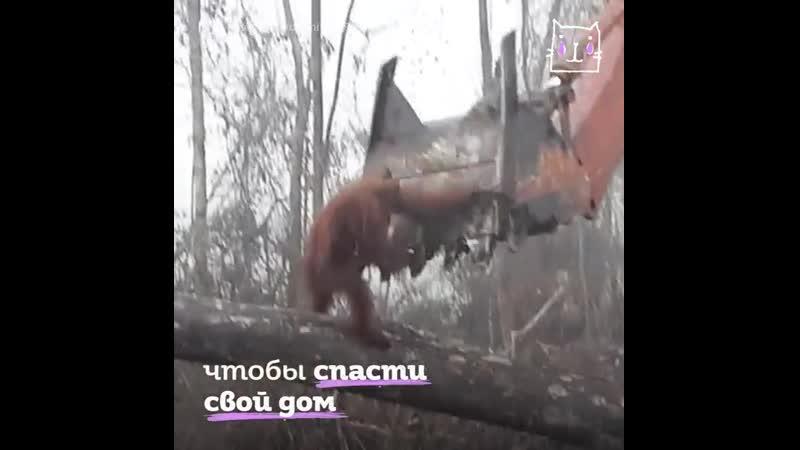 Отчаянный орангутан пытается спасти свой дом, но перед человеком он бессилен. Когда же мы думать не только о себе начнем