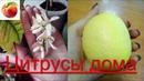 цитрусы дома Разные сорта в квартире что хорошо плодоносит lemon citrus Mandarin