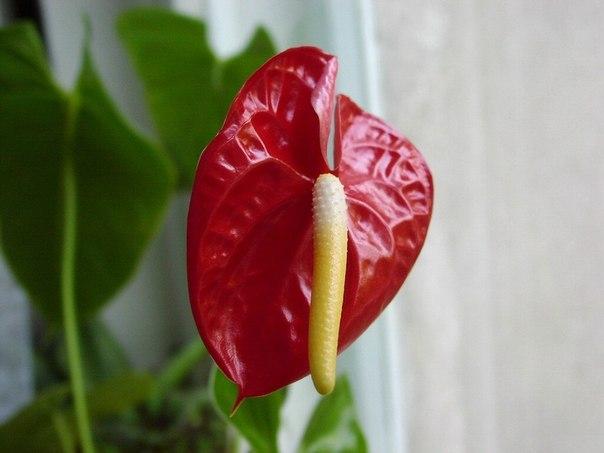 """Ваши советы по уходу за комнатными растениями! Антуриум любит удобрения для орхидей. Я воду после замачивания -""""купания"""" орхидей с удобрениями использую для полива атуриума. Ему это нравиться, и цветок радует круглогодичным цветением. Причем соцветия """"стоят"""" 2-3- месяца, не увядая. А для уничтожения цветочных болезней прочитала следующий совет: апельсиновые корочки настаивать в воде и поливать цветы. Еще не пробовала. Но думаю, что эфирные масла, содержащиеся в них будут…"""
