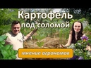 Картофель под соломой: мнение агрономов - YouTube