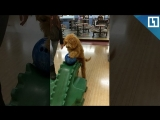 Собака играет в боулинг