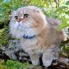 *Шотландские котята ЛИСЁНОК-ВУКИ*ПИТОМНИК*