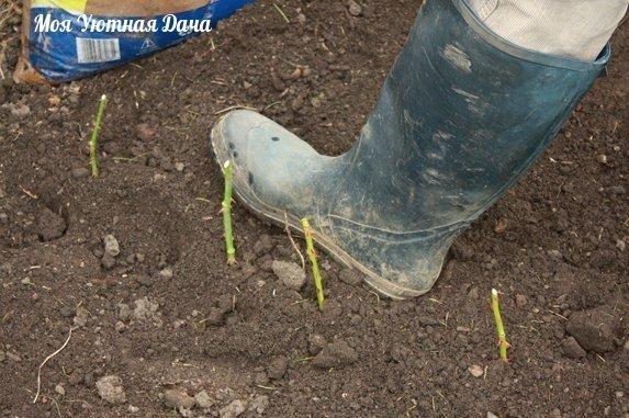 выращиваем черенки розы в картошке приступаем к процессу : роем траншею на открытом хорошо освещенном грунте. в защищенном от ветра месте и заыпаем песокэта траншея должна иметь одну