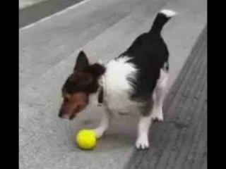 Умная собака играет в мяч сама с собой :)