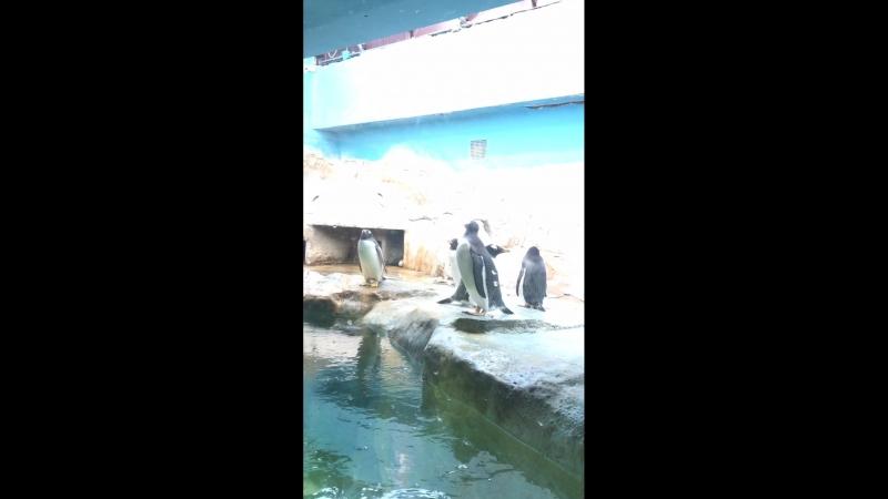 Пингвины. Московский зоопарк.