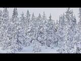 Картинка зима. Орегон, ёлки в снегу. Bild winter. Oregon Beem am Schnee
