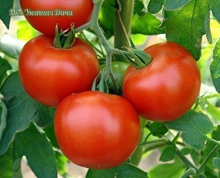 быстрое созревание помидор за лето помидоры не всегда успевают созреть. но если не пускать дело на самотек и использовать ряд простейших приемов, урожай можно собрать раньше. и больше.✔ в
