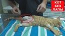 У кота повреждена лапа.Пришлось ампутировать.Ветеринарное ранчо