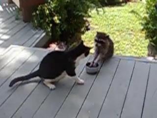 Наглый енот украл у кота еду. Raccoon steals cat's food
