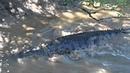 Реакция молодого гребнистого крокодила на приближение взрослого