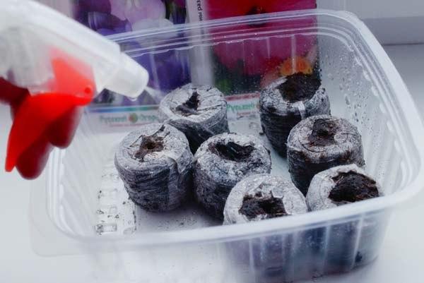 Посадка семян петунии в торфяные таблетки