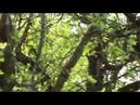 Malus domestica Гигантские яблони