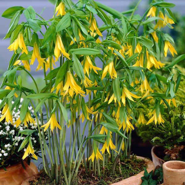 УВУЛЯРИЯ Увулярия (Uvularia) - род растений, представленный пятью видами травянистых многолетников из семейства Безвременниковые. Все они выходцы из лесов Северной Америки, где их часто называют