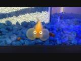 Рыбка водяные глазки (Bubble Eye Goldfish)