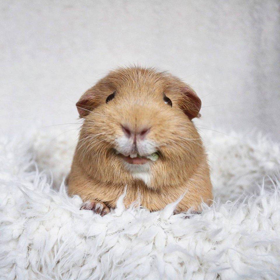 Морские свинки картинки смешные