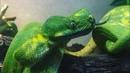 Зелёный питон Morelia viridis малыши и не только