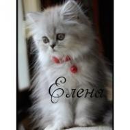 прекрасный котёнок по имени ЕЛЕНА