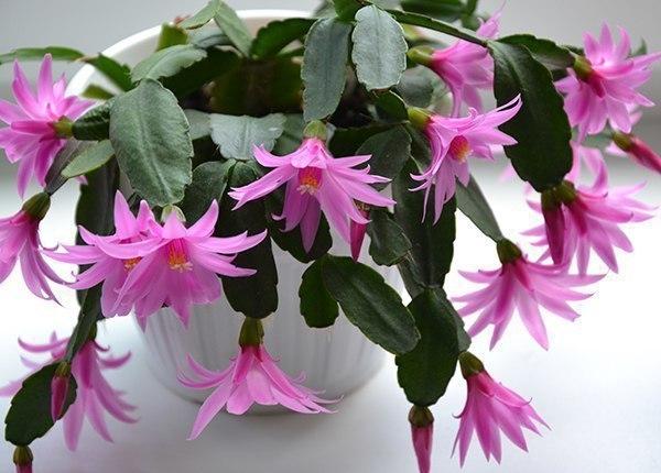 поливайте декабрист (шлюмбергеру) правильно!. инструкция.декабристы радуют своих хозяев нежными цветами в то время, когда остальные растения переживают период зимнего сна. обеспечить