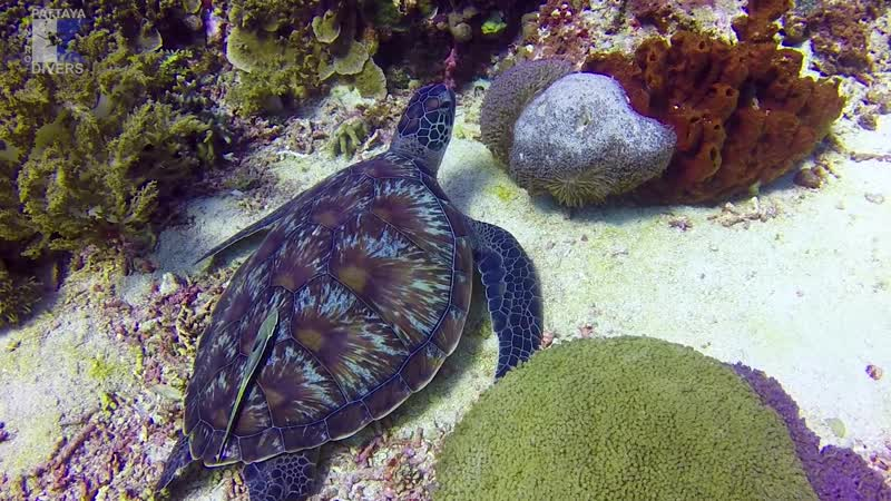 С черепахой на Бали | Дайвинг Таиланд — Индонезия