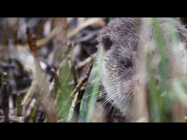 Ki Dour (ou la Loutre Bretonne) / French Otter