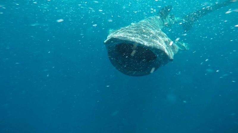 Плаваем с китовыми акулами Мексика