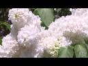 «Оставить всю суету за порогом и понюхать аромат». Неделя сирени в Ботаническом саду