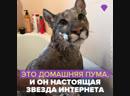 Это домашняя пума Месси из России