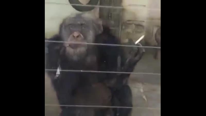 Дали обезьяне закурить . Обезьяна с сигаретой . Курящая обезьяна